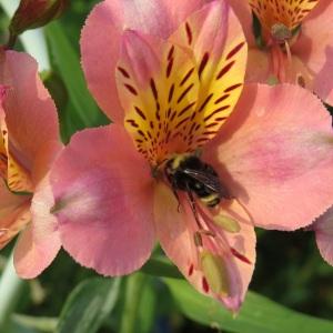 Bee in garden August 2013