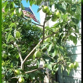 Dwarf Gravenstein Apple Tree