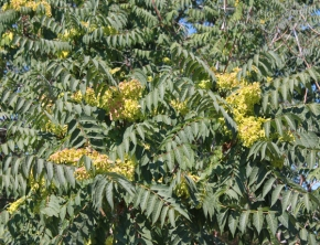 Tree of Heaven (Ailanthus altissima) – removal recommended