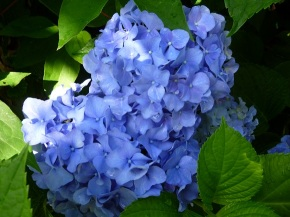 April 27 Speaker – Hydrangeas – Lecture & Plants for Sale!