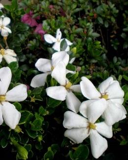 Gardenia jasminoides 'Kleim's Hardy' – Plant of theMonth