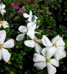 Gardenia jasminoides 'Kleim's Hardy' – Plant of the Month