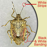 Brown Marmorated Stink Bugs – Great FAQ website!