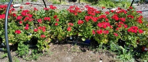 Yes! One more big PLANT SALE – May 16 – 9am-3pm – Camas,WA!