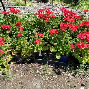 Yes! One more big PLANT SALE – May 16 – 9am-3pm – Camas, WA!