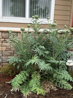 Club member Gayle having success w. Globe Artichokes!
