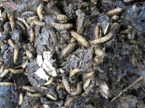 Composting with Black Soldier FlyLarvae!