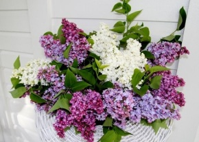 Hulda Klager Lilac Gardens – open 10am-4pm daily