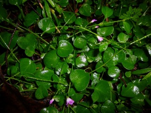 Claytonia_group_SM