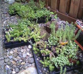 Sedums&Succulents_1_325h