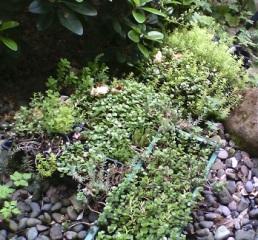 Sedums&Succulents_3_325h