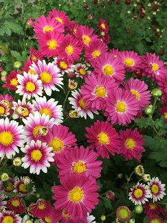 """Chrysanthemums for Home & Competition"" by Gordon Jackman, Mar 28"