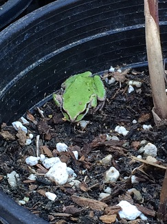 Froggie working hard for the Plant Sale (May 19, 9am-3pm)