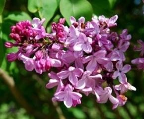 Lilac Days Plant Sale – Apr 20 thru May 12th – Hulda Klager LilacGardens