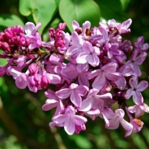 Lilac Days Plant Sale – Apr 20 thru May 12th – Hulda Klager Lilac Gardens