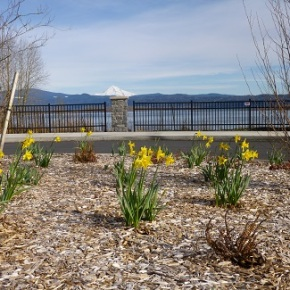 DAFFODIL III – 2000 more daffodil bulbs planted in Washougal Waterfront Park!