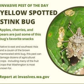 New pest – Yellow Spotted Stink Bug