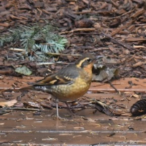 """Backyard Habitat – Focus on BIRDS"", Oct 27, 1:30pm by BrandonBurger"